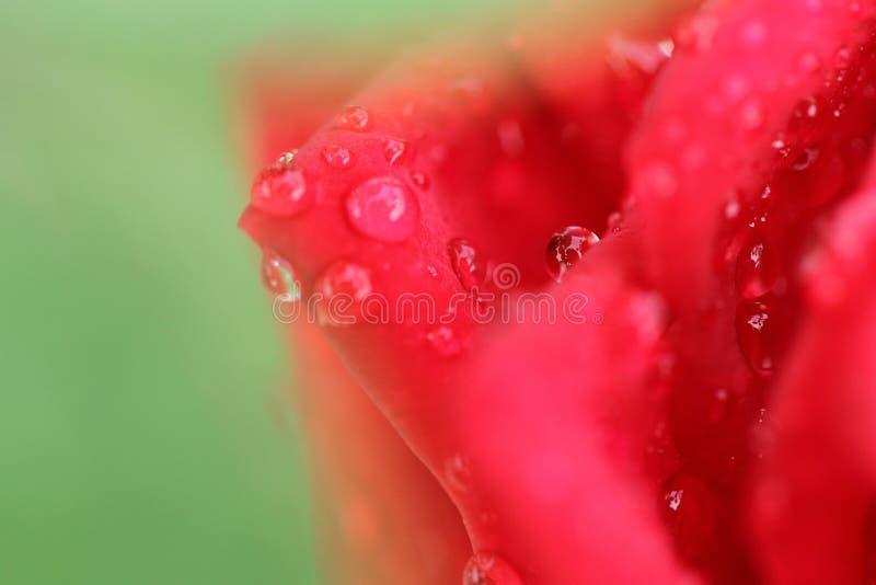 在红色玫瑰花降露 库存照片