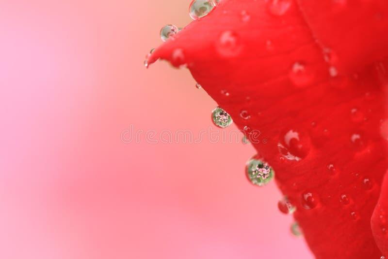 在红色玫瑰花降露 免版税库存照片