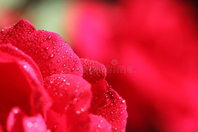 在红色玫瑰降露 图库摄影
