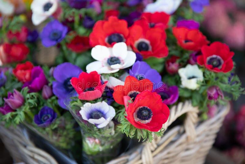 在红色的春天美丽的银莲花属coronaria花,白色,洋红色,蓝色 库存照片