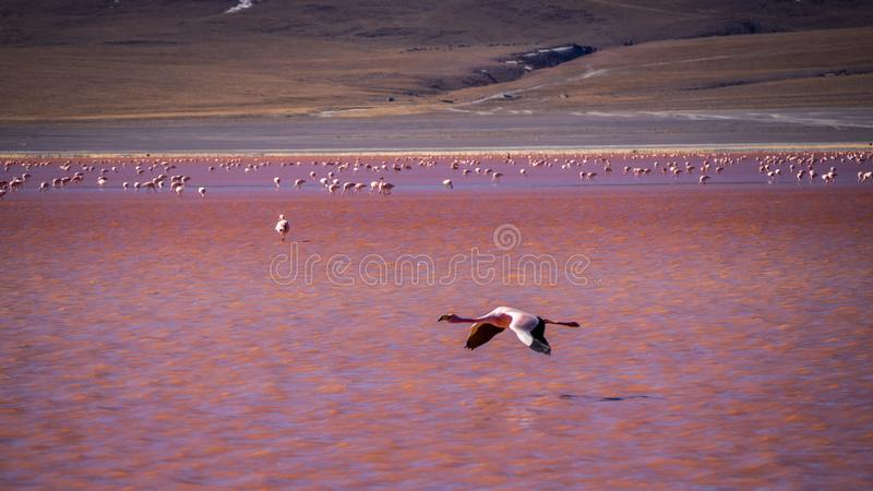 在红色盐水湖拉古纳colorada的火鸟在abaroa国家公园在玻利维亚 免版税库存图片