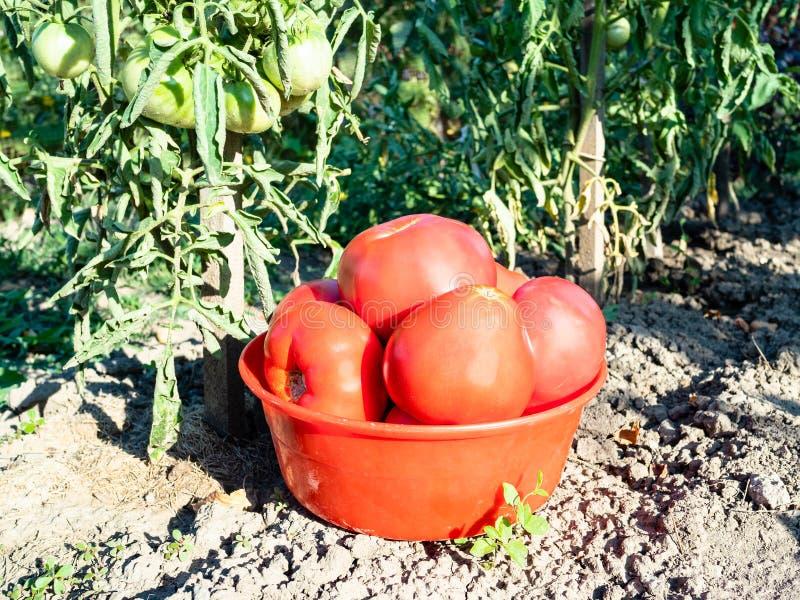 在红色碗特写镜头的蕃茄在蕃茄灌木附近 免版税库存照片
