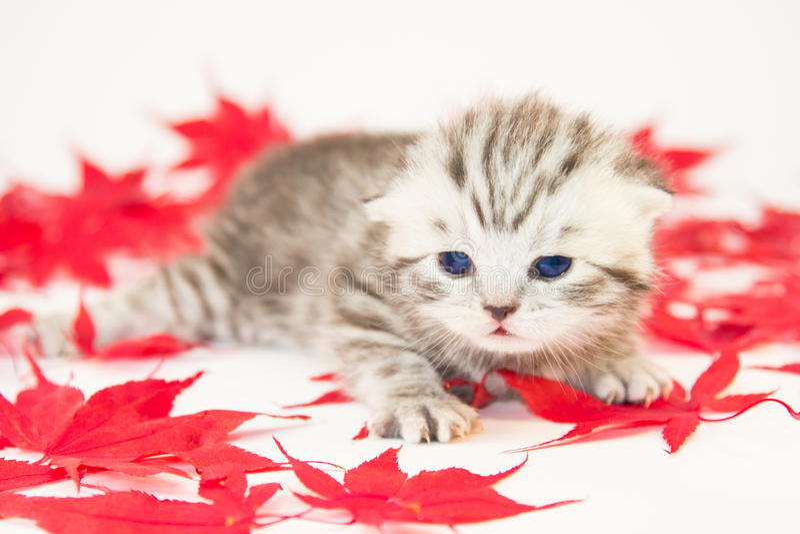 在红色秋叶之间的幼小猫 免版税库存照片