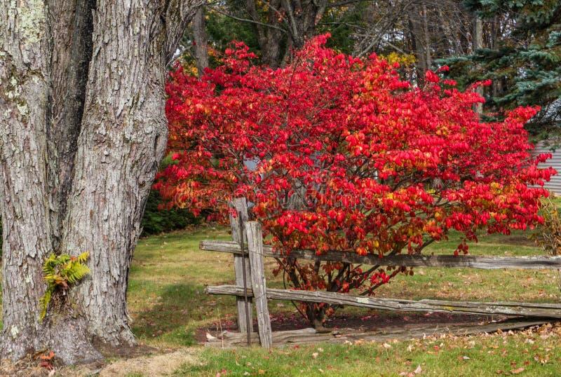 在红色秋天颜色的燃烧的矮树丛 库存照片