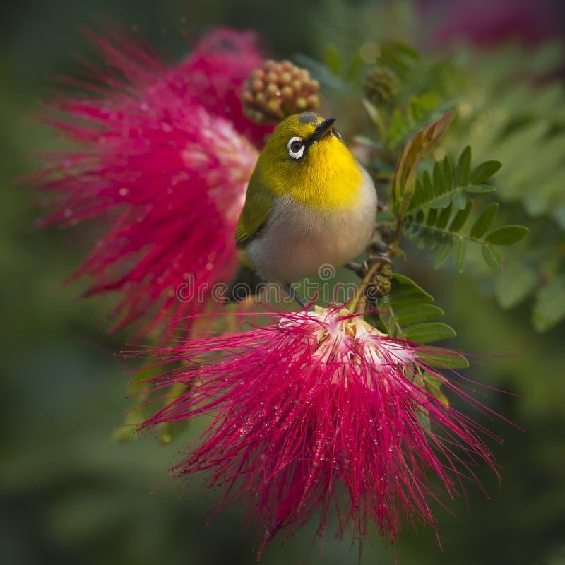 在红色粉末抛光的东方白眼睛鸟开花 库存照片