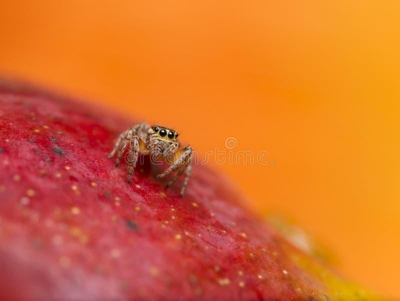 在红色芒果的跳跃的蜘蛛 库存照片