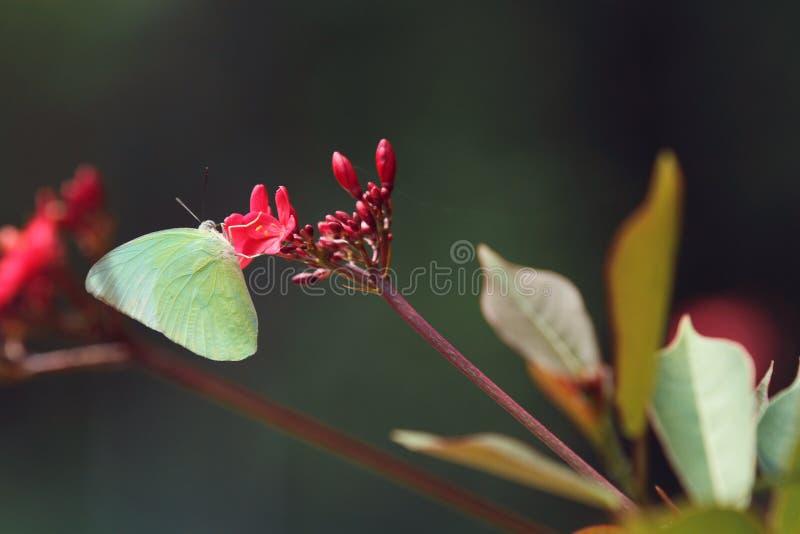 在红色花的一只黄色蝴蝶 免版税库存照片