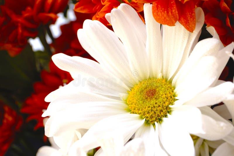 在红色花的对比白色 免版税库存图片