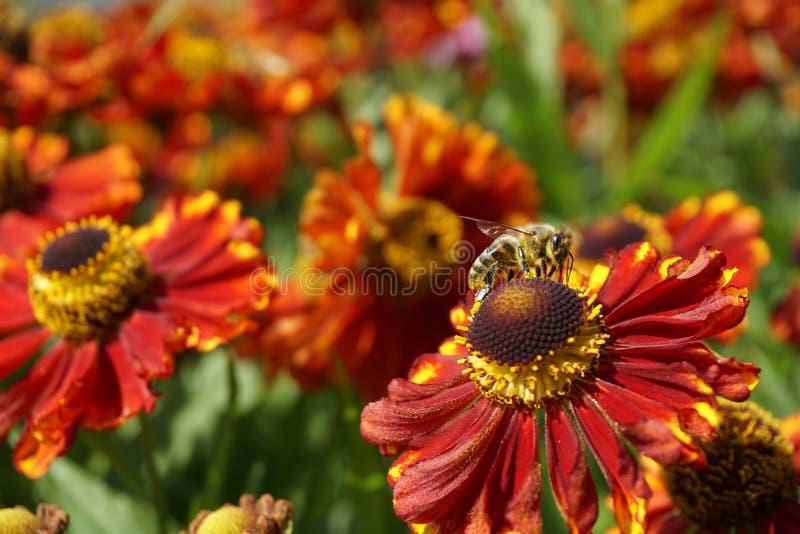 在红色花的蜂会集蜂蜜,美丽的花,绿色词根 库存图片