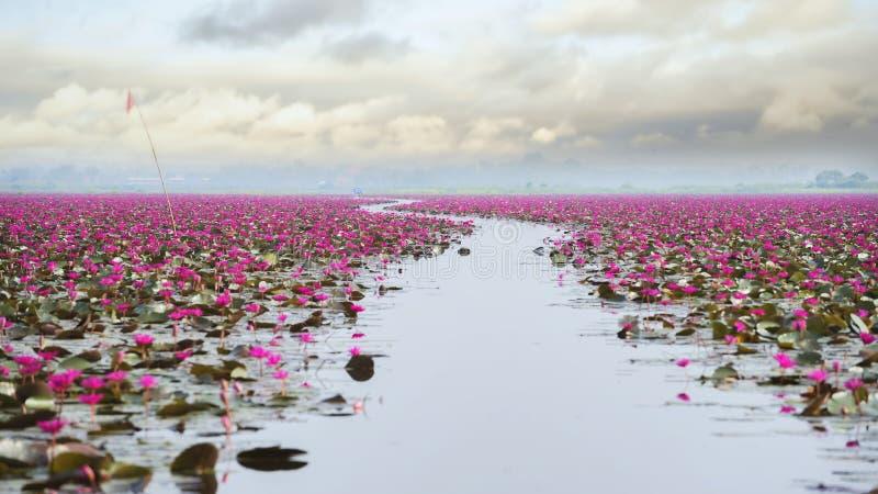 在红色莲花海的美好的莲花领域 库存照片