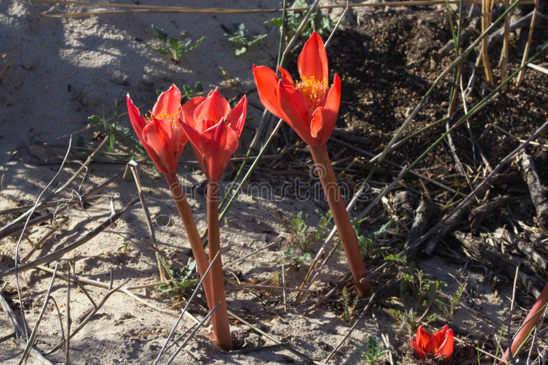 在红色词根的三朵明亮的红色花在含沙ground.jpg 免版税库存图片