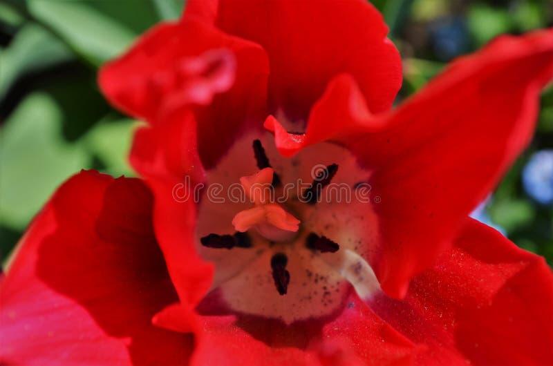 在红色郁金香里面 免版税图库摄影