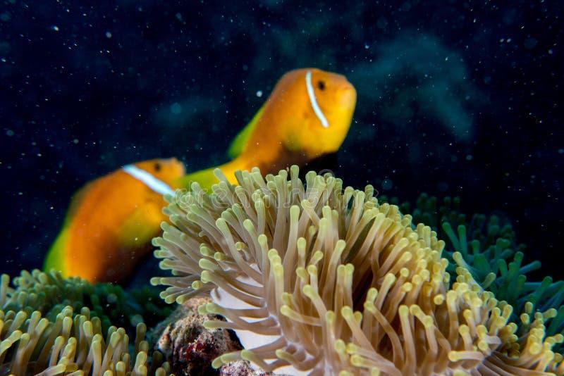 在红色银莲花属里面的小丑鱼在马尔代夫印度尼西亚 库存图片