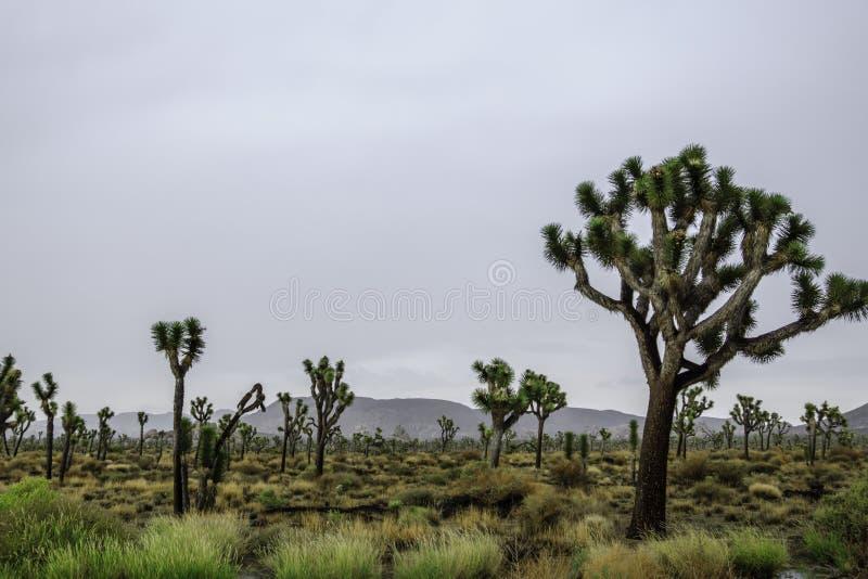 在约书亚树国家公园的下雨天 免版税库存图片