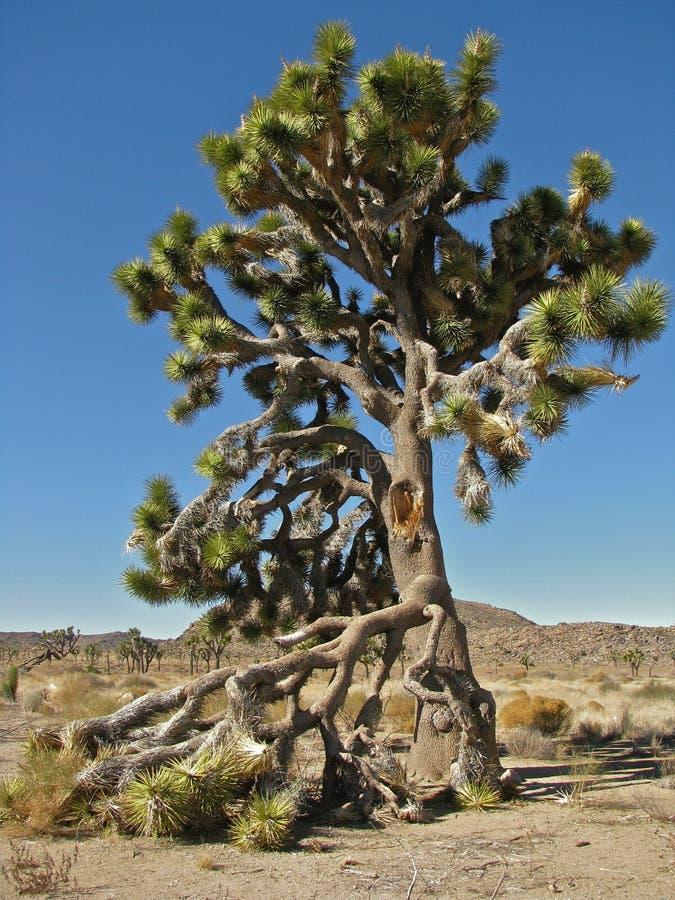 在约书亚树国家公园,加利福尼亚的耸立的约书亚树 图库摄影