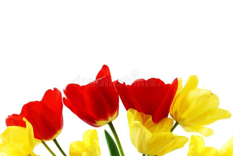 在纯净的白色背景的五颜六色的春天郁金香花 库存图片