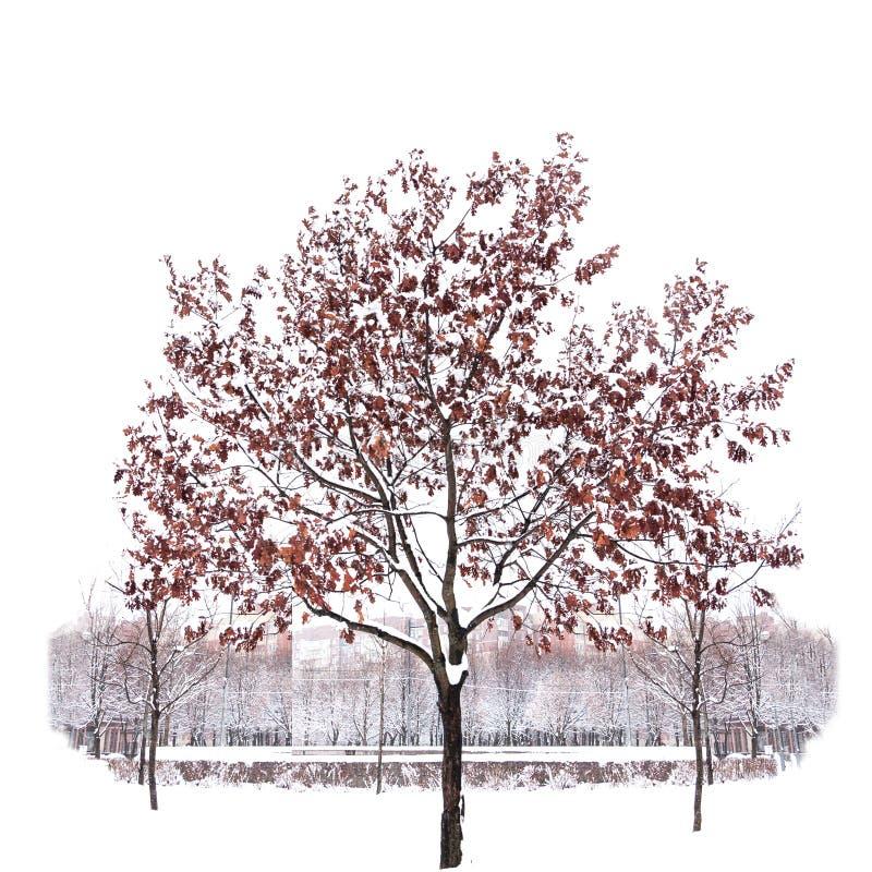 在纯净的白色背景隔绝的积雪的唯一树 免版税库存图片