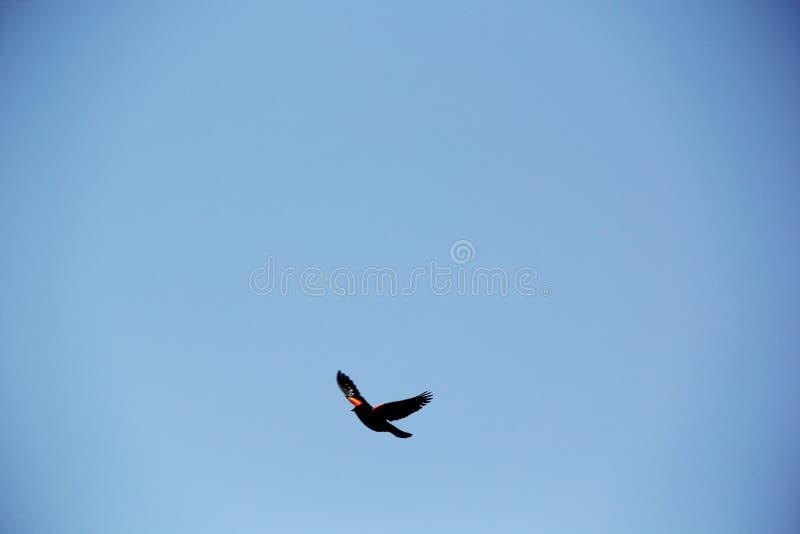 在纳帕天空的鸟飞行 免版税库存图片