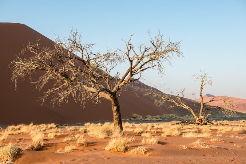 在纳米比亚冬天期间,干燥树和植物接近的看法  免版税库存图片