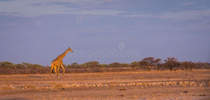 在纳米比亚大草原的长颈鹿在日落 免版税库存照片