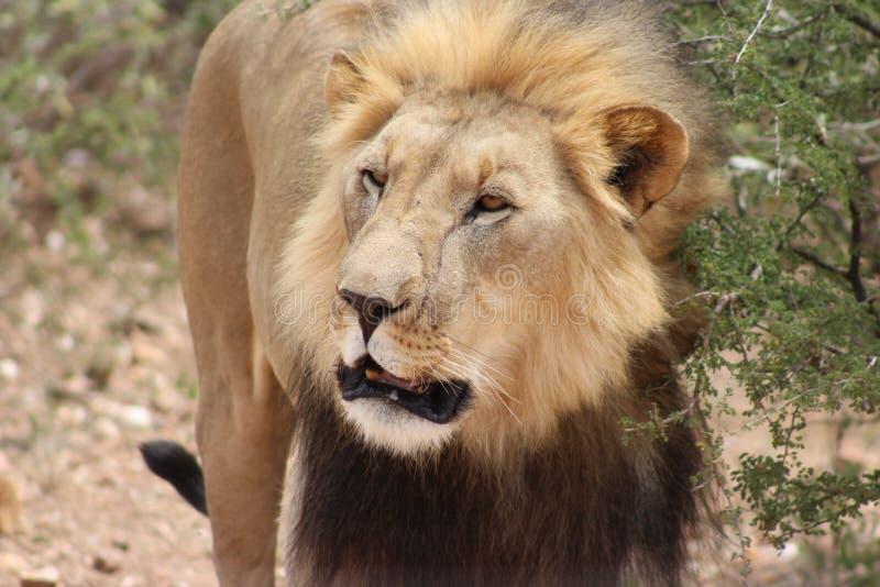 在纳米比亚夺取的狮子 免版税库存图片