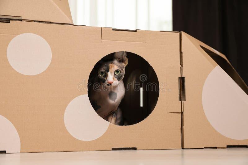 在纸板房子里面的逗人喜爱的sphynx猫在屋子里 免版税库存图片