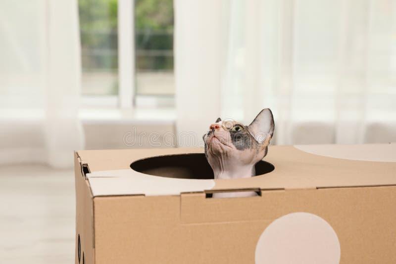 在纸板房子里面的逗人喜爱的sphynx猫在屋子里 库存图片