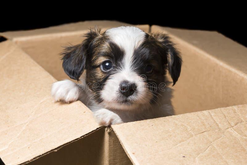 在纸盒箱子的Papillon小狗 库存照片
