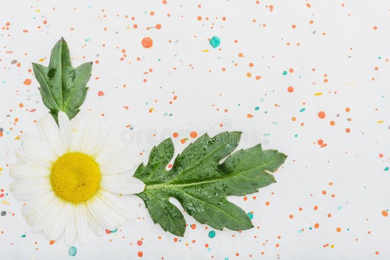 在纸背景的春黄菊花 免版税库存图片