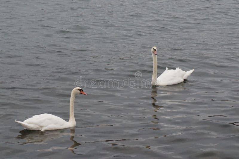 在纽约海湾的两只天鹅 免版税库存图片