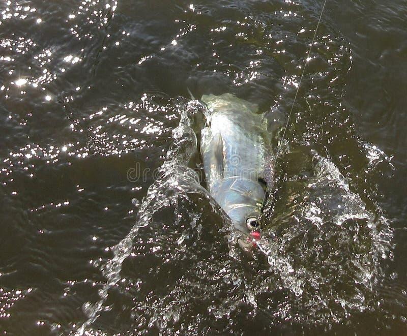 在线的战斗的美洲河鲱 库存图片