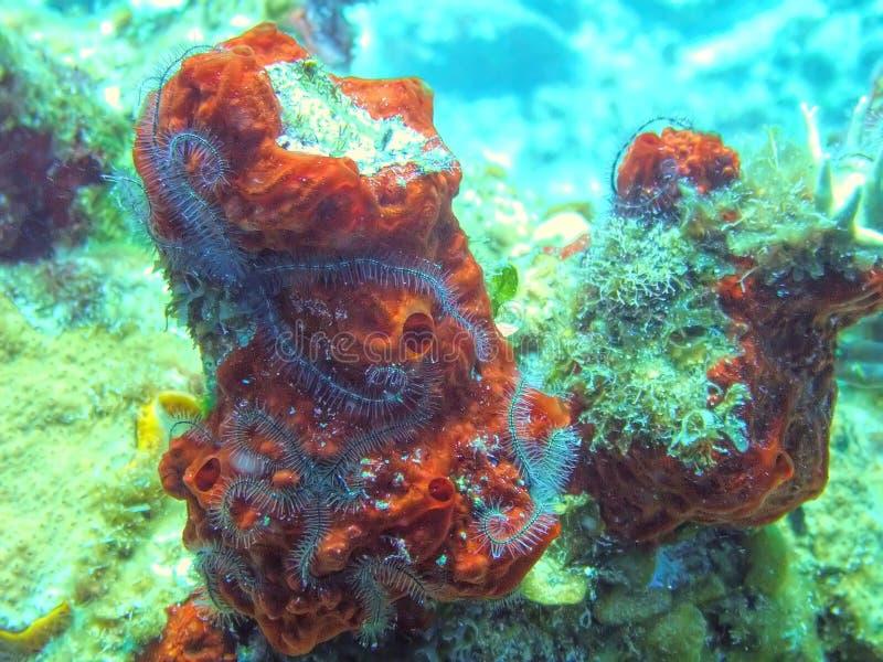 在细平面海绵体海绵的海蛇尾公共群 库存照片