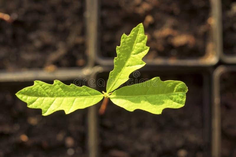 在细胞的绿色小幼木 免版税图库摄影