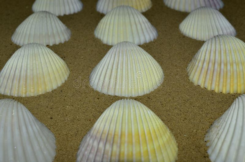 在织地不很细沙子的美丽的贝壳 免版税库存图片