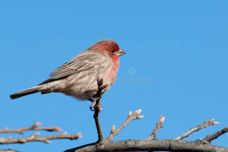 在结构树栖息的公室内燕雀 免版税库存图片