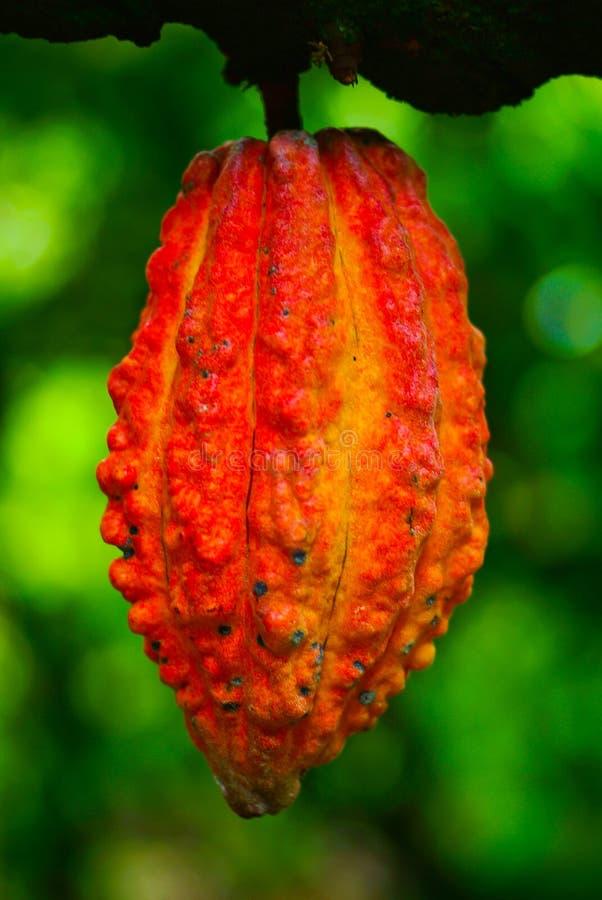 在结构树的可可粉果子。 在结构树的可可粉荚, 库存照片