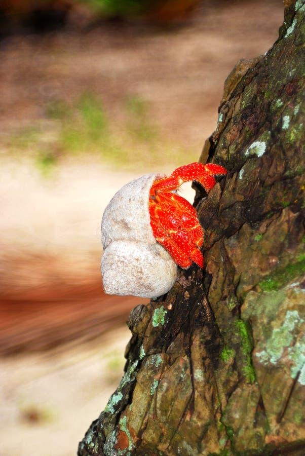 在结构树的寄居蟹 免版税库存图片