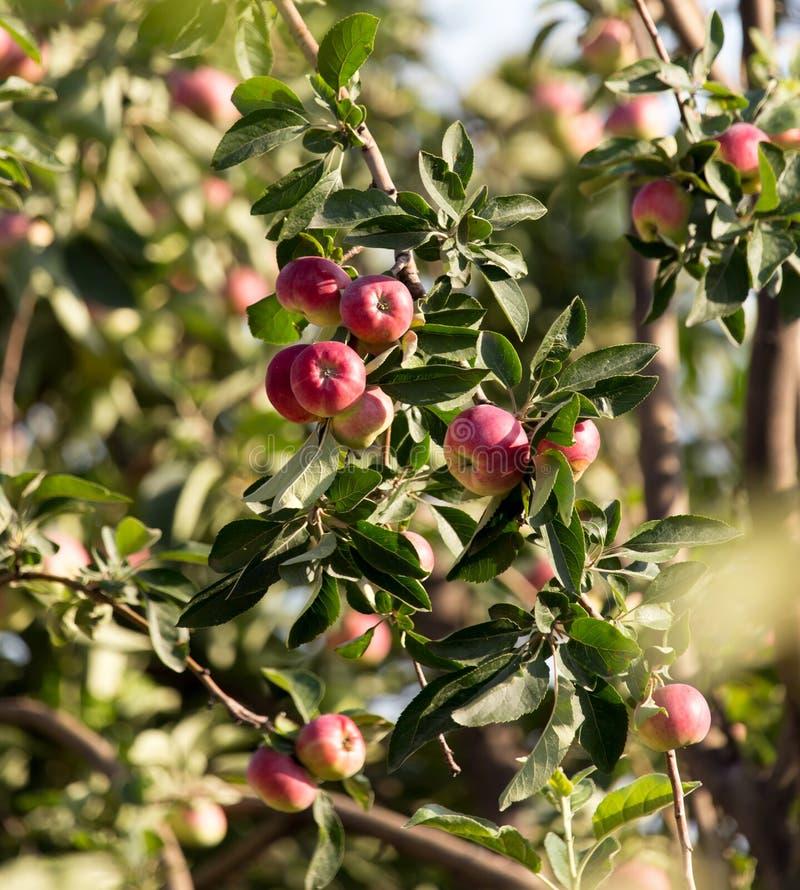 在结构树的成熟苹果 库存照片
