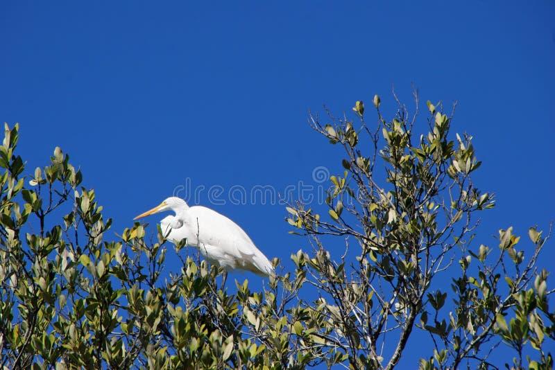 在结构树的极大的白鹭鸟 免版税图库摄影