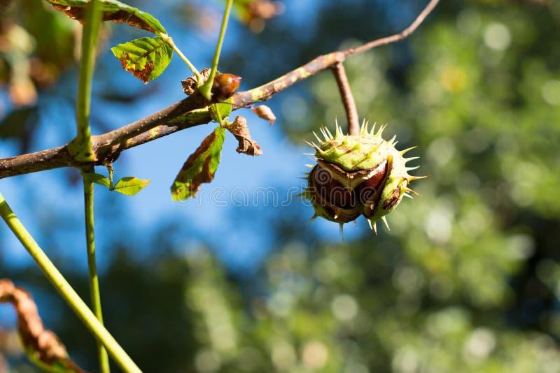 在结构树的栗子 库存图片