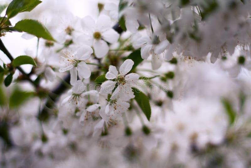 在结构树的樱桃花 库存照片