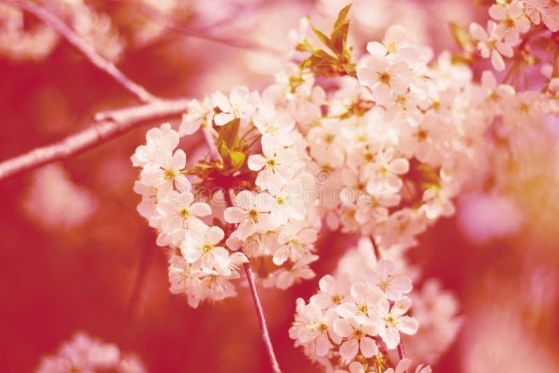 在结构树的樱桃花 库存图片