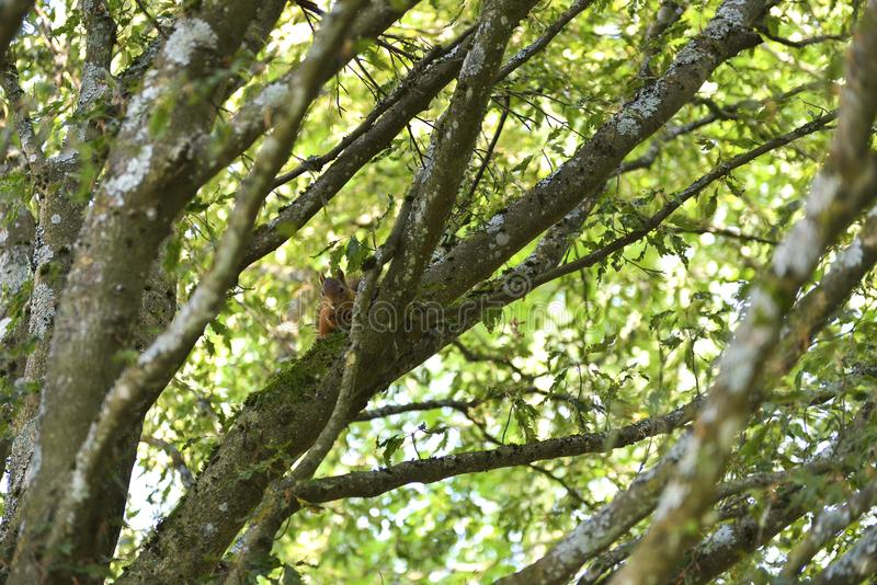 在结构树的灰鼠 库存照片
