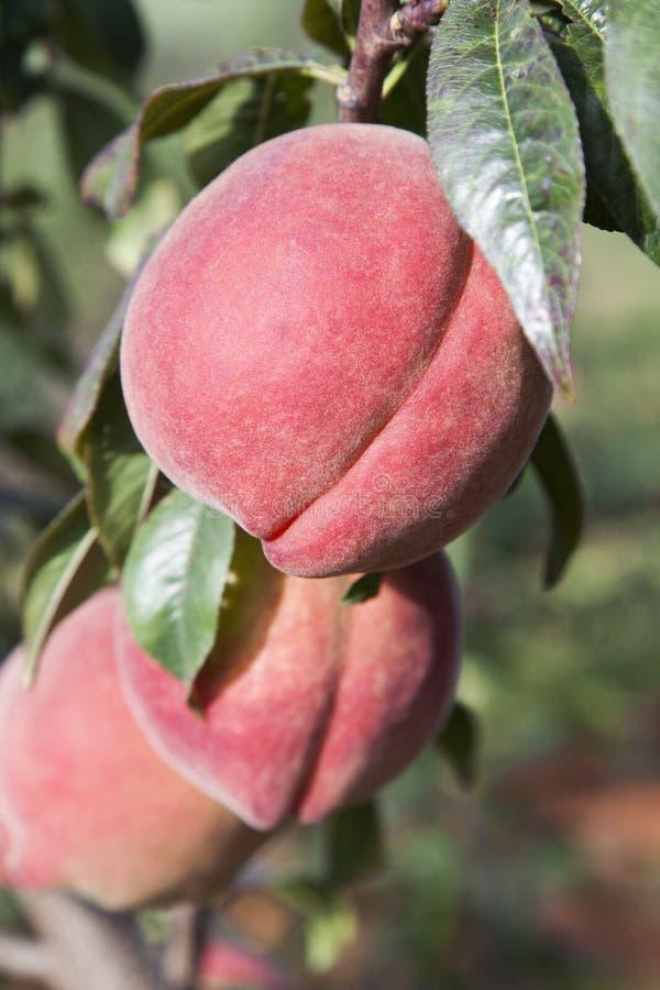 在结构树的红色桃子 图库摄影