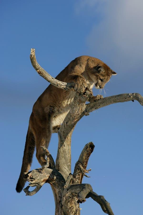在结构树的美洲狮 库存图片