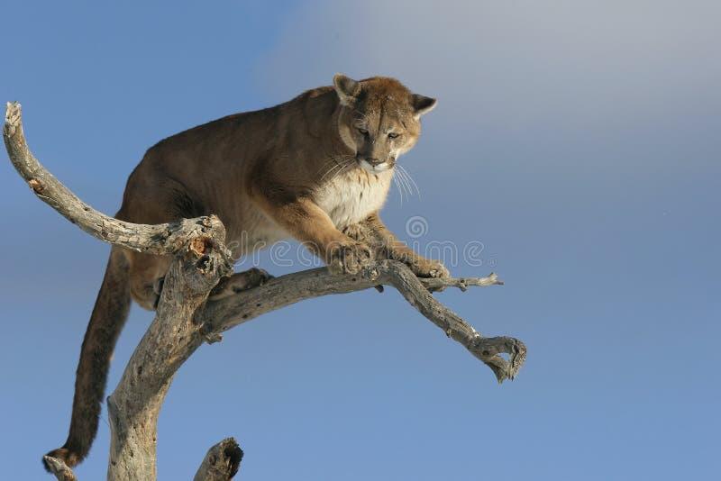 在结构树的美洲狮 免版税库存照片