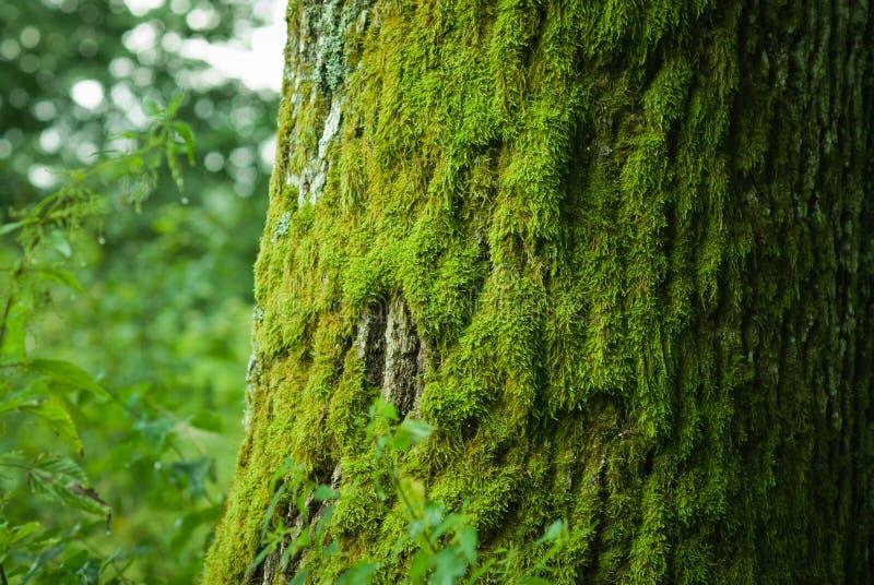在结构树的青苔 免版税库存图片