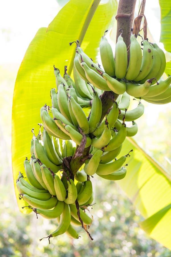 在结构树的香蕉 免版税图库摄影