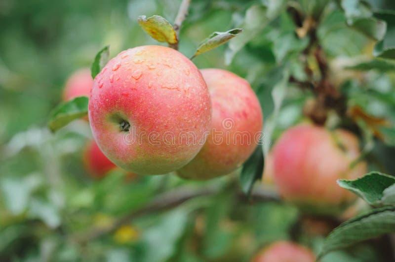 在结构树的Apple 免版税库存图片