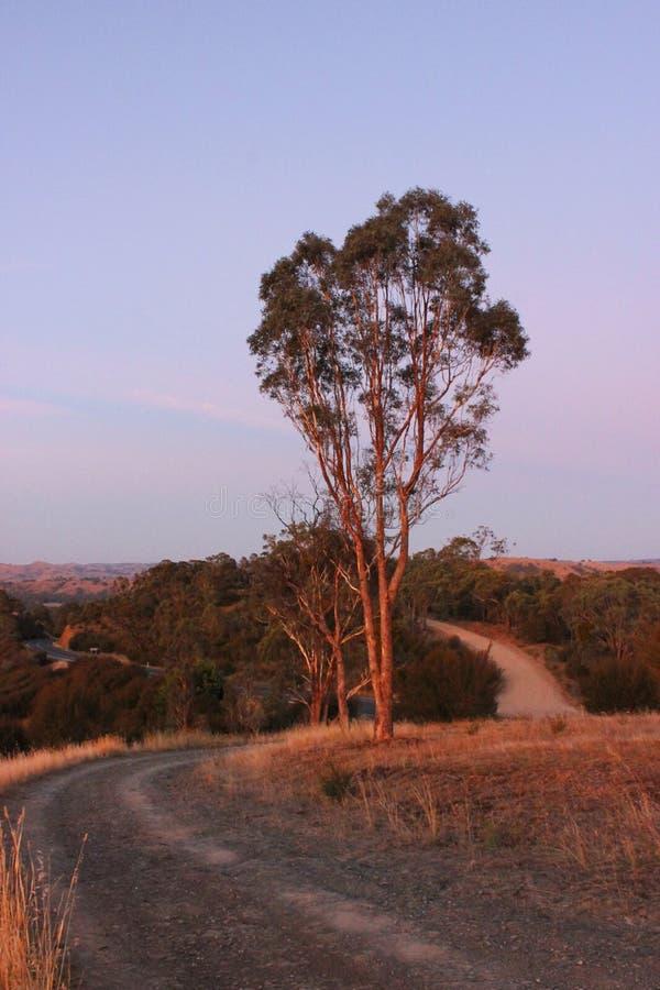 在绕乡下公路旁边的金黄小时树 库存图片